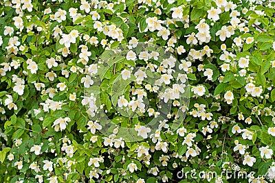 De struik van de jasmijn royalty vrije stock afbeelding beeld 16787636 - Bush architectuur ...