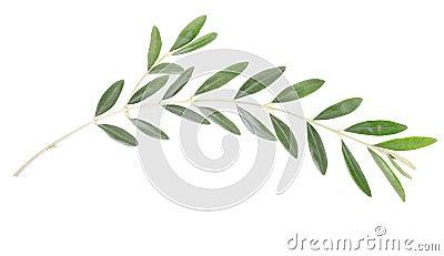 De tak van de olijf