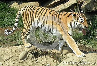 De tijger op snuffelt rond