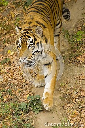 De tijger van Amur