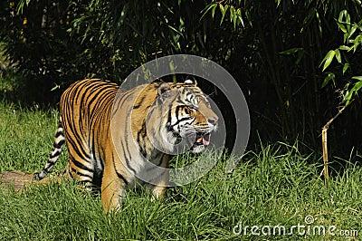 De tijger van Bengalen op snuffelt rond