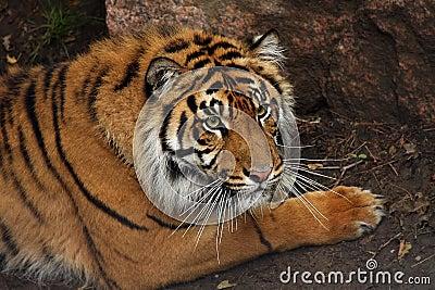 De Tijger van Sumatran
