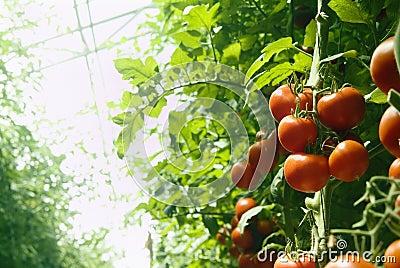 De tomaten van de serre