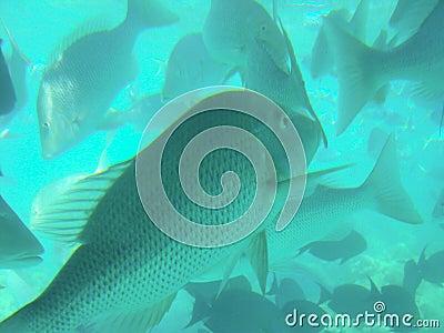 De tropische Vissen van de Ertsader