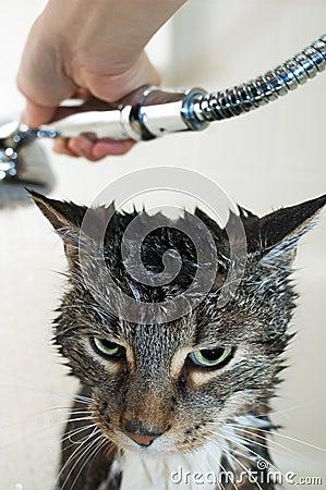 De tweemaandelijkse douche van de kat