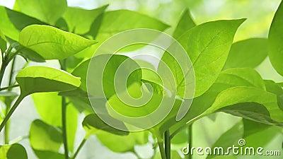 De verse gezonde groene bioachtergrond met samenvatting vertroebelde gebladerte en helder de zomerzonlicht stock videobeelden