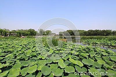 De vijver van Lotus in een park