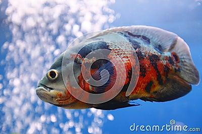 De vissen van Oscar