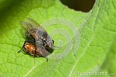 De vlieg van Muscidae