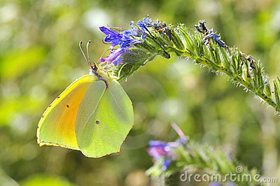 De vlinder van Cleopatra het voeden op bloem
