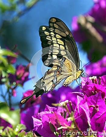 De Vlinder van de lente