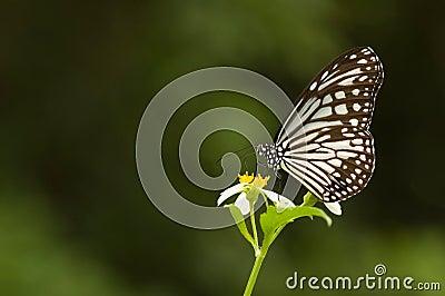 De vlinder van Milkweed (vlinderreeks)