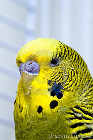 De vogel van de kanarie