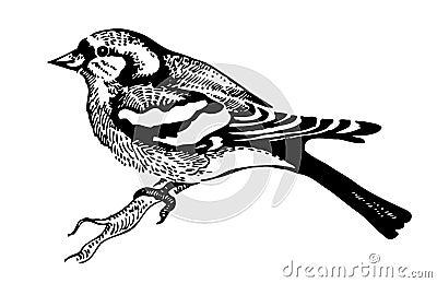Afbeeldingen Vogels Kleurplaten De Vogel Van De Vink Royalty Vrije Stock Foto Afbeelding