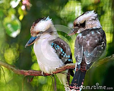 De vogels van de kookaburra
