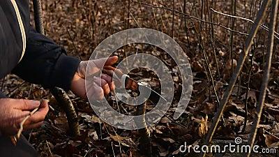 De vrouw maakt een scheur in de pas gesneden jonge boom voor zijn vaccinatie met een mes en een hamer stock videobeelden