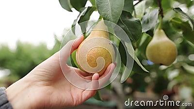 De vrouw neemt een rijpe sappige peer in haar hand De vrouwelijke hand raakt het fruit op de boom tijdens oogst op stock videobeelden