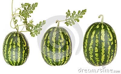 De vruchten van de watermeloen met doorbladeren