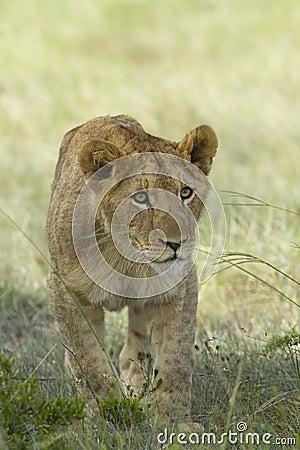 De welp van de leeuw het besluipen