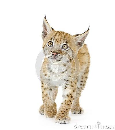 De welp van de lynx (2 mounths)