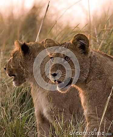 De welpen van de leeuw in chobe