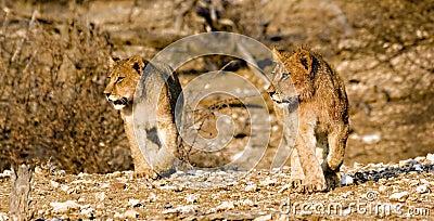 De welpen van de leeuw op snuffelen rond