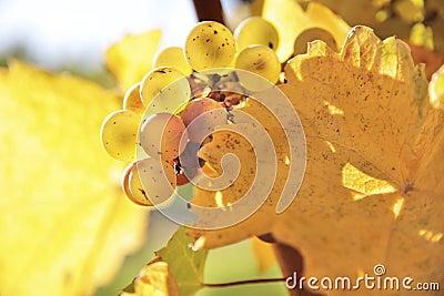 De wijndruiven van riesling