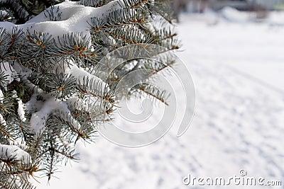 De wintersneeuw op een pijnboomboom