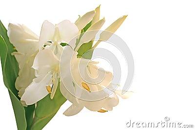 De witte Bloem van de Lelie van de Gember