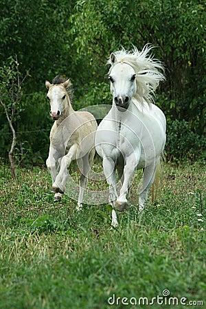 De merrie van de poney met veulen het lopen