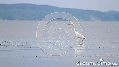 De witte reiger wandelt onder de grote rivier stock video