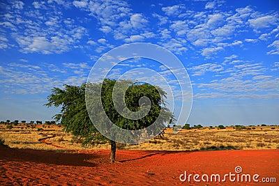 De Woestijn van Kalahari