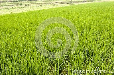De zaailing van de rijst