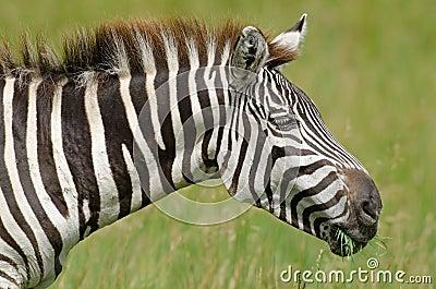 De Zebra van de toelage