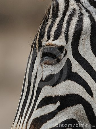 De Zebra van vlaktes