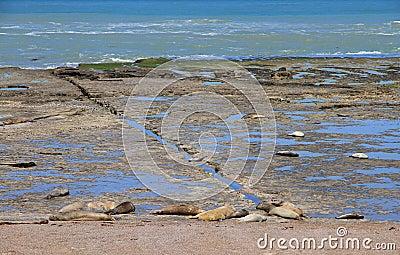 De zeeleeuwen van de slaap op de Atlantische kust. Fauna van Argentinië.