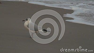 De zeemeeuw gaat op nat zand stock videobeelden