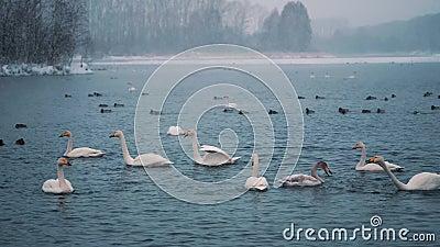 De zwanen zwemmen op een meer of een rivier in de winter snowing Het worden klaar weg te vliegen stock video