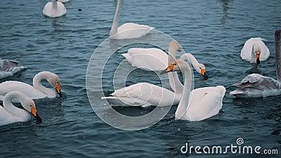 De zwanen zwemmen op een meer of een rivier in de winter snowing Het worden klaar weg te vliegen stock footage