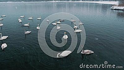 De zwanen zwemmen op een meer of een rivier in de winter snowing Het worden klaar weg te vliegen stock videobeelden