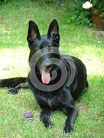 de zwarte hond van de duitse herder stock foto afbeelding 43534207. Black Bedroom Furniture Sets. Home Design Ideas