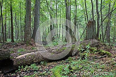 Dead alder tree trunk