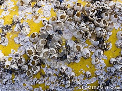Dead barnacles
