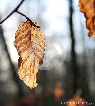 Free Dead Brown Autumn Leaf With Shallow Background Stock Image - 49139311