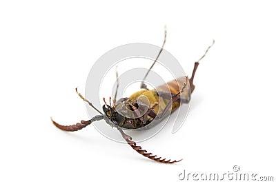 Dead Bug, California Prionus