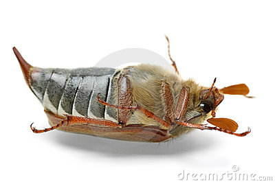 Dead cockchafer (Melontha vulgaris)