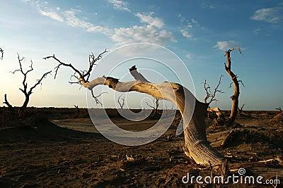 Dead diversifolia populus