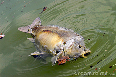 Dead fish in the water