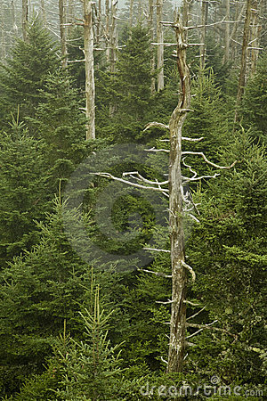 Dead Fraser Firs, Clingmans Dome