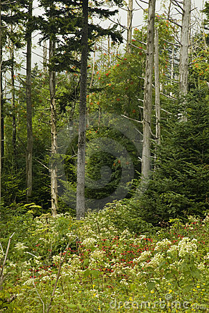 Dead Fraser Firs, Wildflowers